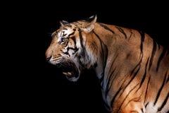 Tigre siberiano en la acción del gruñido Fotografía de archivo libre de regalías