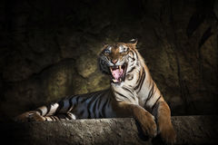 Tigre siberiano en la acción del gruñido Imagen de archivo