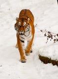 Tigre siberiano en la nieve Foto de archivo
