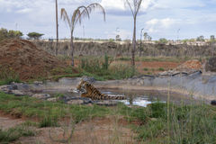 Tigre siberiano en la piscina Imagenes de archivo