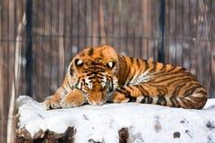 Tigre siberiano en parque zoológico Imagen de archivo libre de regalías