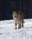 Tigre siberiano que grune fotos de archivo libres de regalías