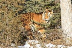 Tigre siberiano que oculta en cepillo Fotos de archivo libres de regalías