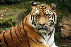 Tigre siberiano, tigre de Amur Foto de archivo