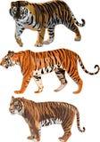 Tigre siberiano, tigre de Sumatran, tigre de Bengala Imagen de archivo