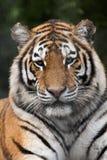 Tigre sibérien (altaica de tigris de Panthera) Photographie stock libre de droits