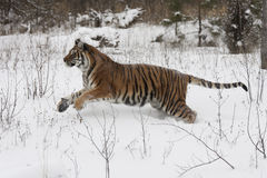 Tigre sibérien d'Amur Images libres de droits