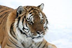 Tigre sibérien dans la neige Photos stock