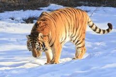 Tigre sibérien dans la neige Image libre de droits