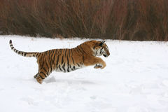 Tigre sibérien fonctionnant dans la neige Photographie stock