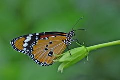 Tigre simple ou papillon de monarque africain Photographie stock libre de droits