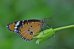 Tigre simple ou papillon de monarque africain Photographie stock libre de droits