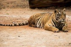Tigre soñoliento imagenes de archivo