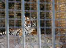 Tigre solo Fotografía de archivo libre de regalías