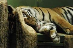 Tigre sonnolenta Fotografia Stock Libera da Diritti