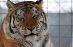 Tigre sonolento foto de stock