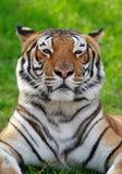 Tigre su erba Fotografie Stock