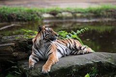 Tigre su roccia Fotografia Stock