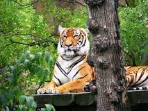 Tigre su un terrazzo Immagini Stock