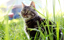 Tigre suburbano Foto de Stock Royalty Free