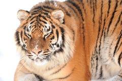 Tigre sui precedenti bianchi Immagine Stock