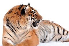 Tigre sul bianco Immagine Stock Libera da Diritti