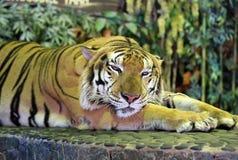 Tigre sul guinzaglio del ferro in zoo fotografie stock