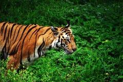 Tigre sul Prowl Fotografia Stock Libera da Diritti