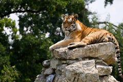 Tigre sulla roccia Fotografia Stock