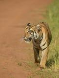 Tigre sulla strada Fotografia Stock Libera da Diritti