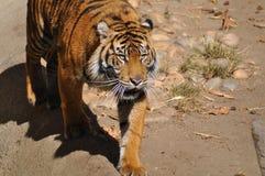 Tigre, Sumatran Imagem de Stock