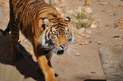 Tigre, Sumatran Image libre de droits