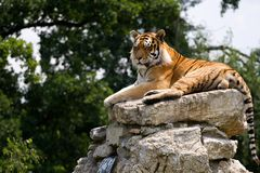 Tigre sur la roche photographie stock