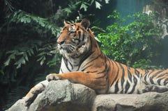 Tigre sur la roche Photo libre de droits