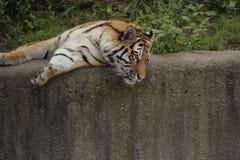 Tigre sur le mur en pierre Photographie stock libre de droits