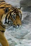 Tigre sur le vagabondage Images stock