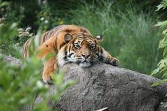 Tigre sur les roches Photos stock