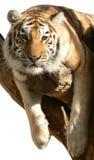Tigre sur un branchement Image libre de droits