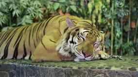 Tigre sur une laisse de fer banque de vidéos