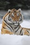 Tigre sveglia Fotografie Stock