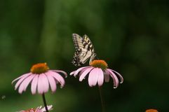 Tigre Swallowtail fotografia de stock