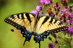 Tigre Swallowtail Photographie stock