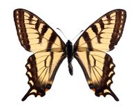 Tigre Swallowtail imagens de stock royalty free