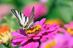 Tigre Swallowtail en el Zinnia Imágenes de archivo libres de regalías