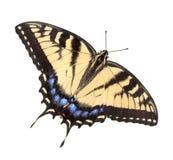 Tigre Swallowtail su bianco Immagini Stock Libere da Diritti