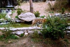 Tigre tímido que esconde atrás dos arbustos em um jardim zoológico imagens de stock royalty free