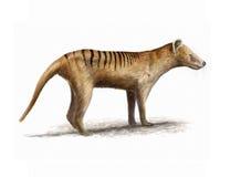 Tigre tasmaniano ilustração do vetor