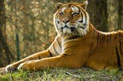 Tigre, tigre? Immagini Stock Libere da Diritti