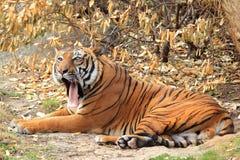 Tigre tra l'India e la Cina Fotografie Stock Libere da Diritti