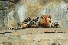 Tigre tra l'India e la Cina Fotografia Stock Libera da Diritti